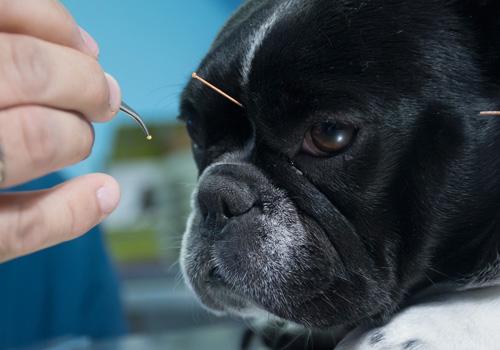 acupuntura-pet
